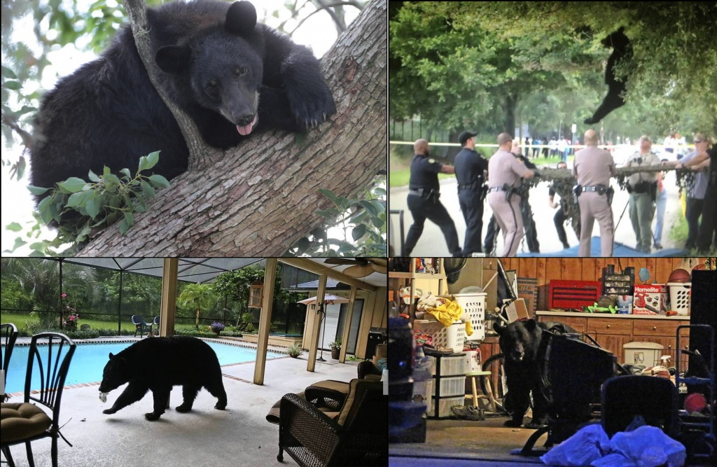 Bears In Central Florida - Orlando Sentinel - Bears In Florida Map