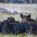 California Wild Pig Hunting Guides | California Wild Pig Hunts - Wild Hogs California Map
