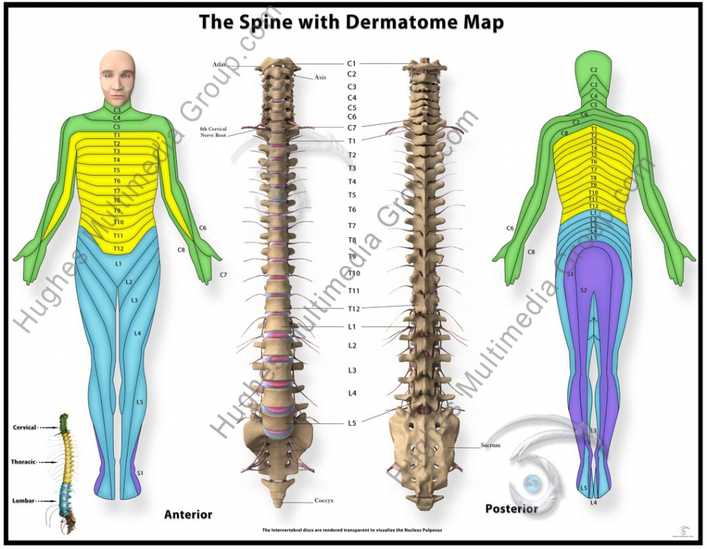 Hd Wallpapers Printable Dermatome Chart Hd87Love.cf - Printable Dermatome Map