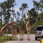 Lion Country Safari | South Florida Finds   Lion Country Safari Florida Map