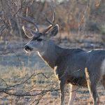 Mule Deer — Texas Parks & Wildlife Department   Mule Deer Population Map Texas
